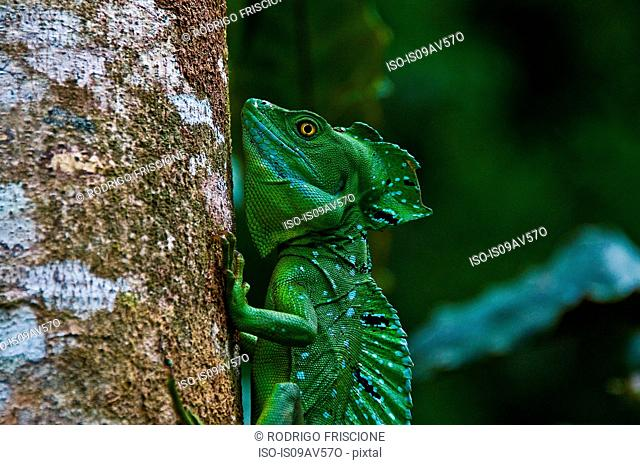 Side view of plumed or double crested basilisk (Basiliscus plumifrons) gripping tree trunk, Costa Rica