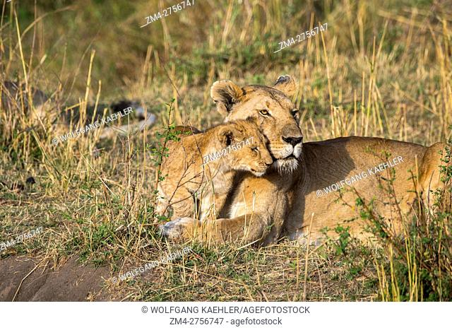 Lioness (Panthera leo) and a cub in the Masai Mara National Reserve in Kenya