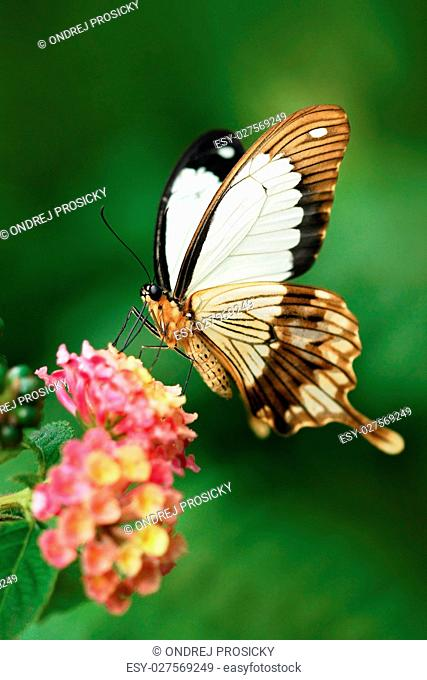 African Swallowtail butterfly, Papilio dordanus