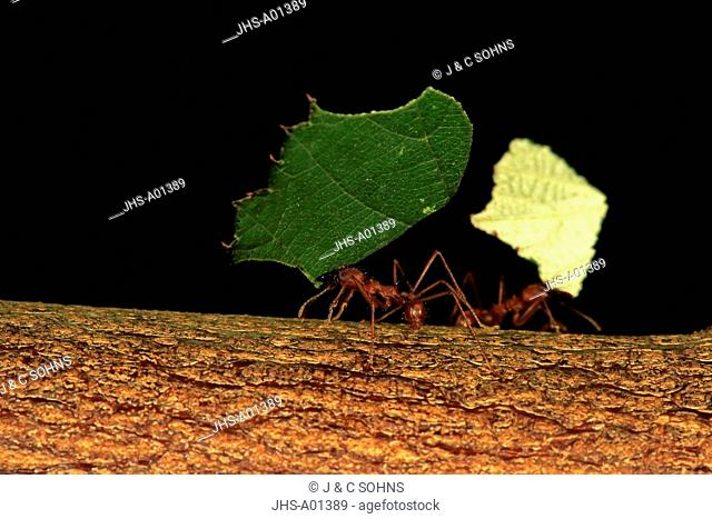 Leafcutter ant, (Atta sexdens), carries leaf, transportation of cutted leaf, South America, Central America