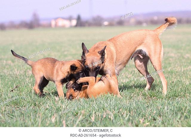 Belgian Malinois bitch with puppies