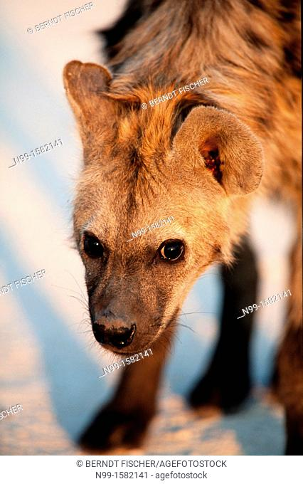 Spotted Hyena Crocuta crocuta, standing in morning light and looking into the camera, Etosha National Park, Namibia