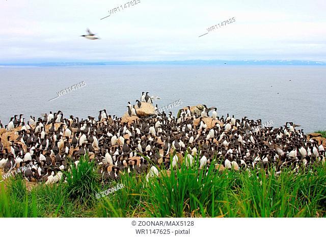 razorbills colony