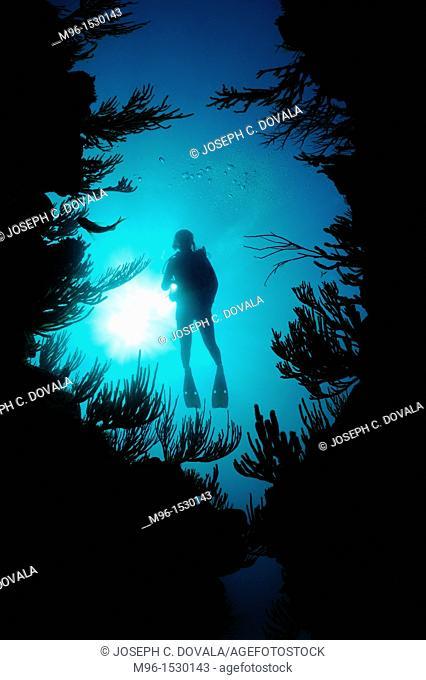 Scuba diver hovers over reef structure, Bermuda Island, Atlantic