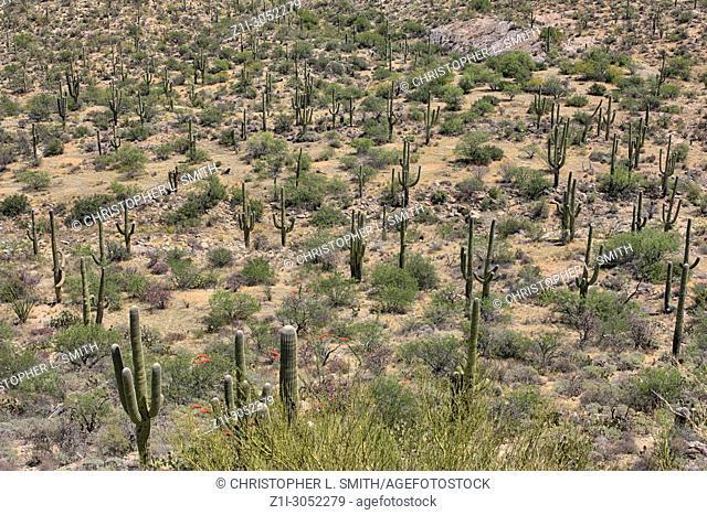 The Saguaro East Rincon Mountain National Park in Tucson, Arizona