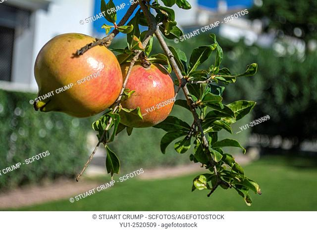 Pomegranate tree growing in the grounds at the Hacienda Riquelme Golf Resort, Murcia, Spain