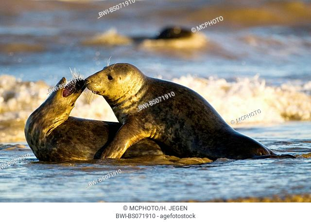 gray seal (Halichoerus grypus), two individiuals playing in the surge, Europe, Germany, Schleswig-Holstein, Heligoland