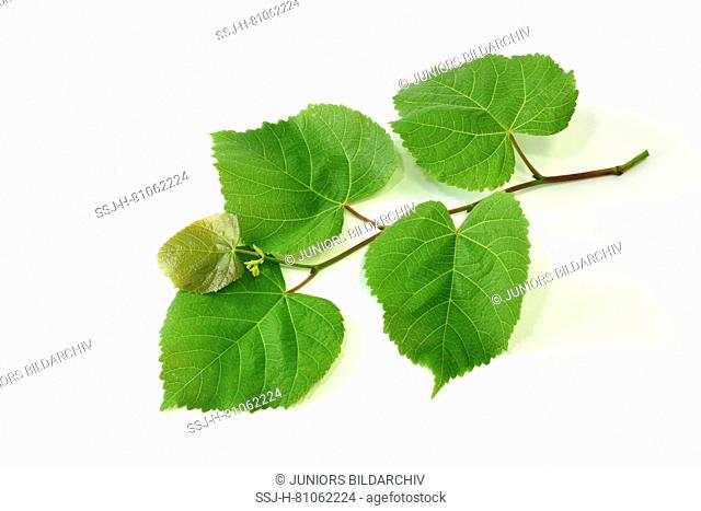 Large-leaved Lime (Tilia platyphyllos), twig with leaves, studio picture