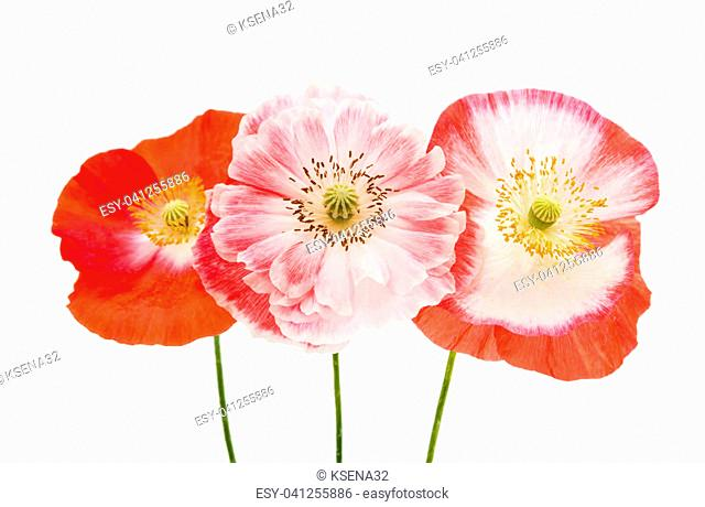 beautiful flowers of a poppy isolated on a white background