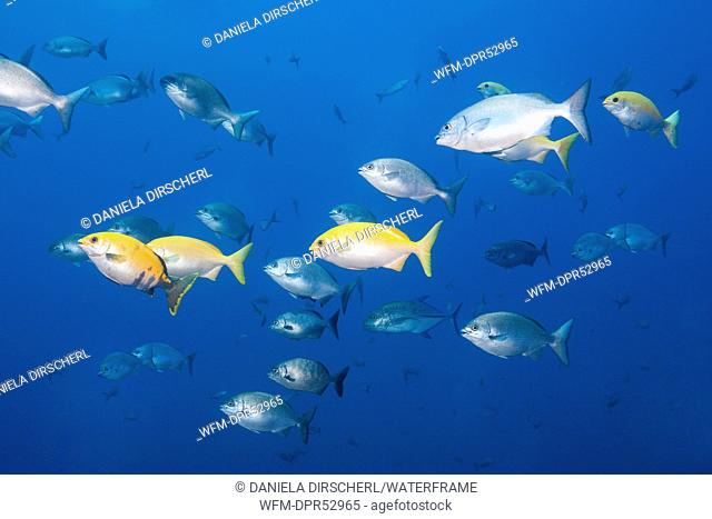 Blue-bronze Sea Chub and Yellow Sea Chub, Kyphosus analogus, Kyphosus lutescens, Socorro, Revillagigedo Islands, Mexico