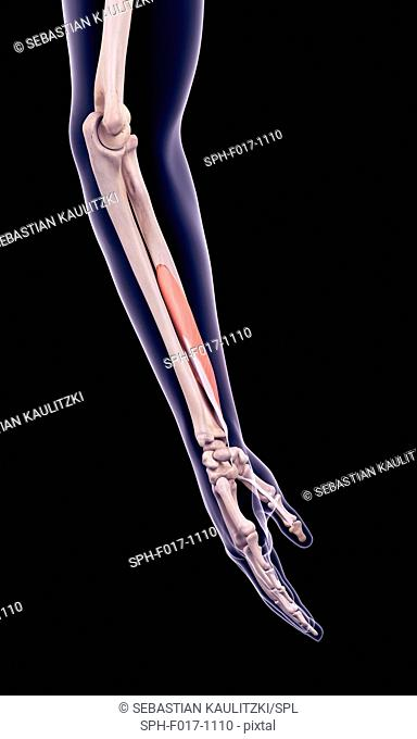 Illustration of the flexor pollicis longus muscle