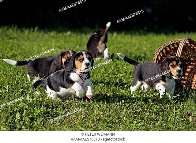 Beagle Puppies, (Mother: Bea of lucky-sun; Breeder: Y. Otte), Wolnzach, Bavaria, Germany
