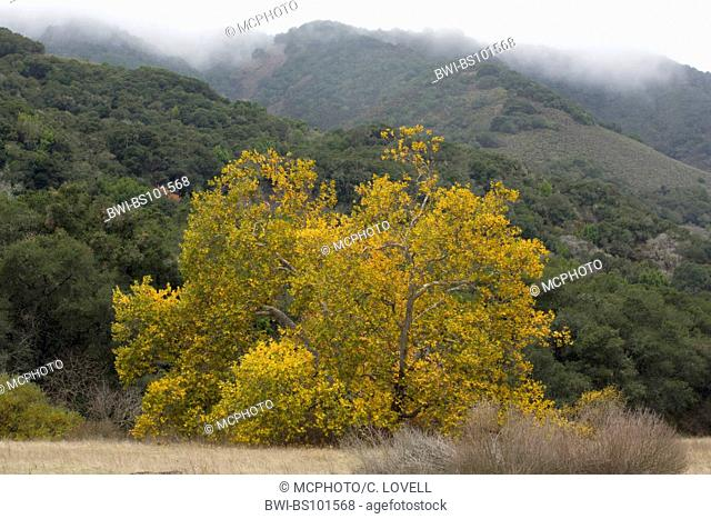 American sycamore, American planetree, Occidental plane, Buttonwood (Platanus occidentalis), in autumn colours, USA, California, Carmel Valley