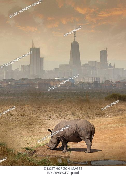 Black rhino grazing, Nairobi National Park, Nairobi, Kenya, Africa