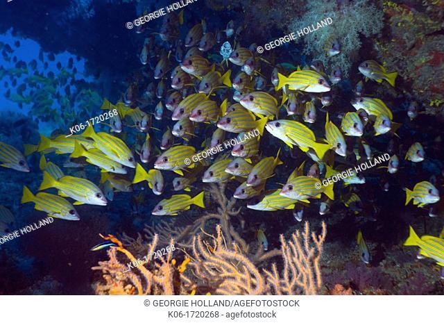 Blueline snappers Lutjanus kasmira  Maldives