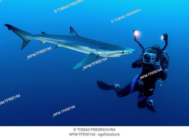 Scuba Diver and Blue Shark, Prionace glauca, False Bay, Atlantic Ocean, South Africa