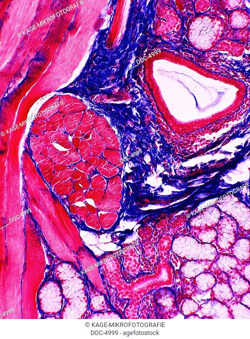 Musculature horizontally striped, glands, connective tissues, veins. 250x Photo-Technical Short Cuts: LUMEN = optical microscope