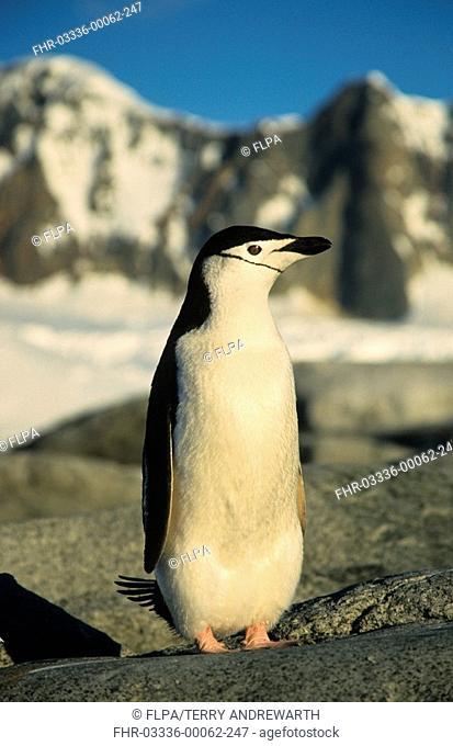 Chinstrap Penguin Pygoscellis antarctica Standing - close-up - front view - Antarctica