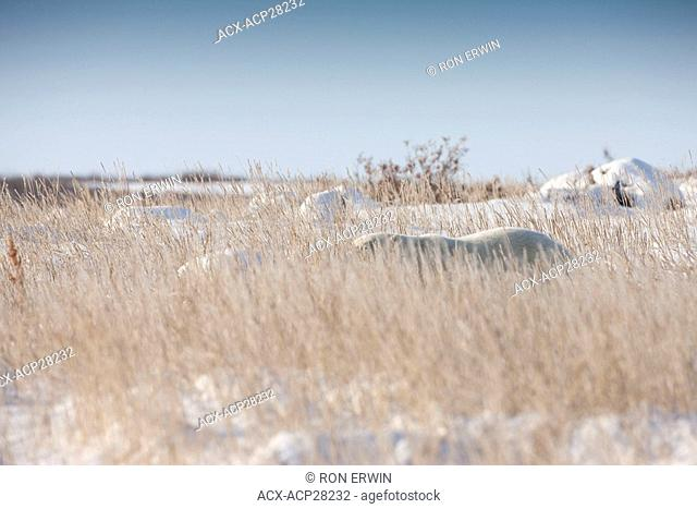 This Polar Bear Ursus maritimus hidden in sea lyme grass on the shore of Hudson Bay near the Seal River estuary north of Churchill in Manitoba could dangerously...