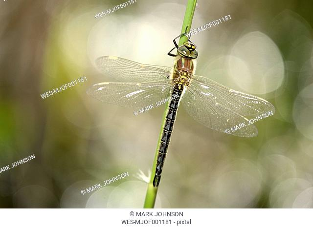 Hairy dragonfly at backlight