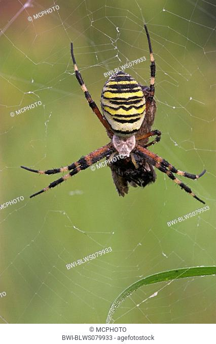 black-and-yellow argiope, black-and-yellow garden spider Argiope bruennichi, with prey in web, Germany, Baden-Wuerttemberg