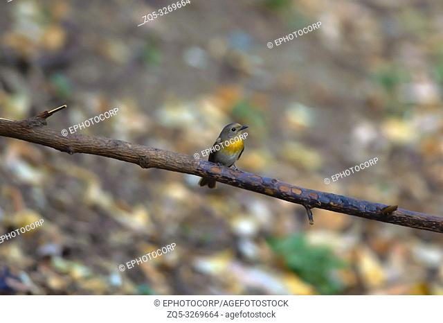 Blue throated blue flycatcher, Cyornis rubeculoides, Sattal, Nainital, Uttarakhand, India