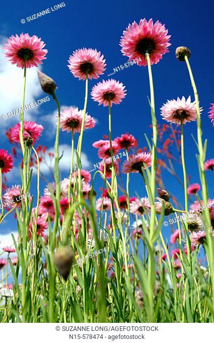 Spring wildflowers in field. Paper daisies (Rhodanthe chlorocephala), endemic to Western Australia