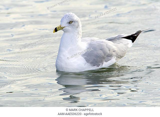 Ring-billed Gull (Larus delawarensis), winter plumage adult, San Francisco Bay, California, USA