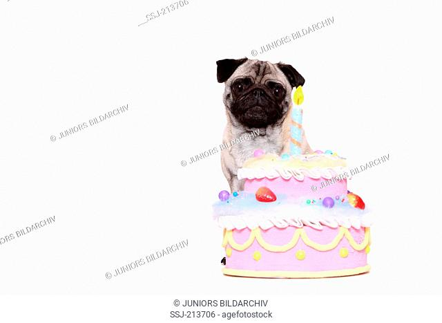 Pug. Bitch sitting behind a birthday cake. Studio picture against a white background. Germany