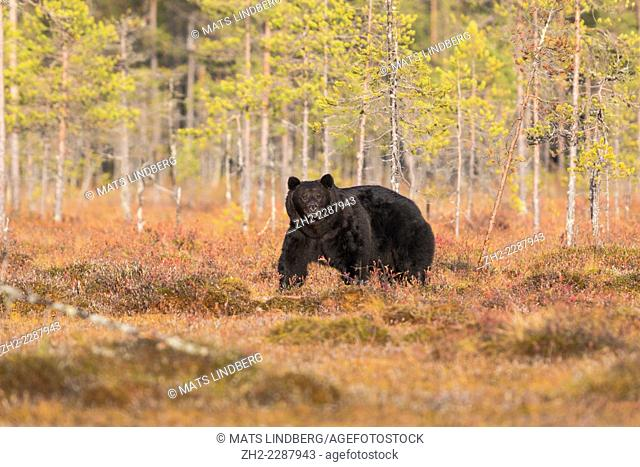 Big black brown bear, Ursus arctos, looking straight into camera, red autumn colors on the bushes on the ground, Kuhmo, Finland