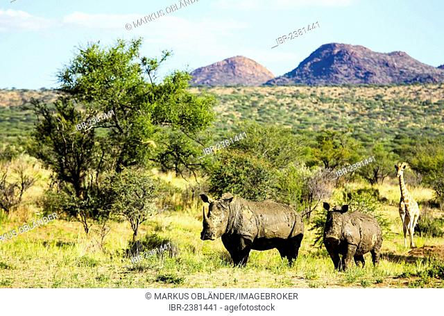 White Rhinoceroses, Square-lipped Rhinoceroses (Ceratotherium simum) and a Giraffe (Giraffa camelopardalis), Namibia, Africa