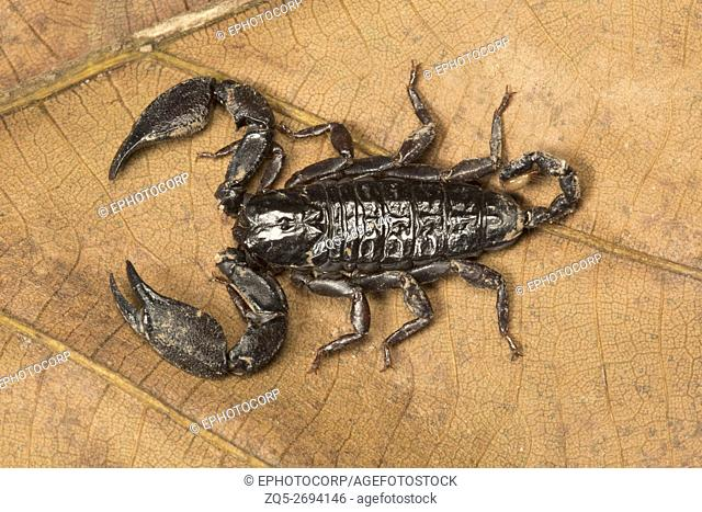 Harmouridae, Liocheles sp. , Gumti WLS, Tripura Largely flat looking scorpions that live in crevices of rocks or in trees
