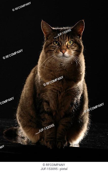 tabby cat - sitting