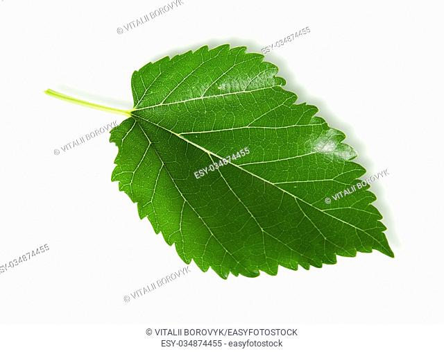 Single green leaf mulberry isolated on white background