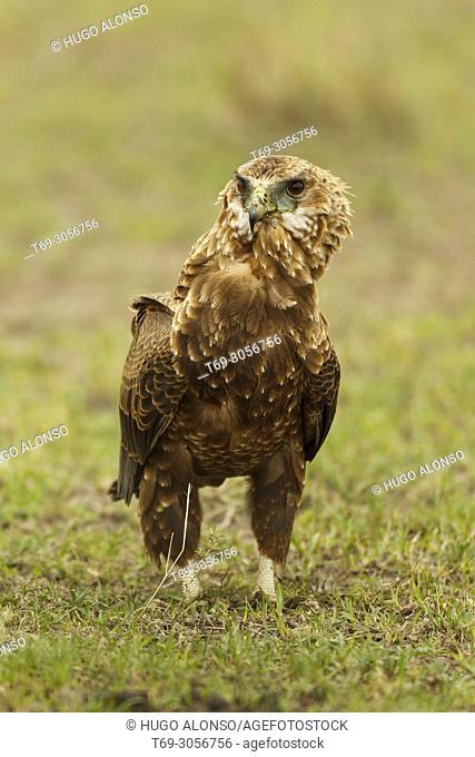 Inmature bateleur eagle. Terathopius ecaudatus. Kenia. Africa