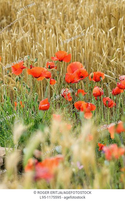 Wheat fields Triticum vulgare in June with Red Poppies Papaver rhoeas, Agramunt, Spain