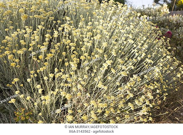 Helichrysum Italicum Curry Plant Stock Photos And Images