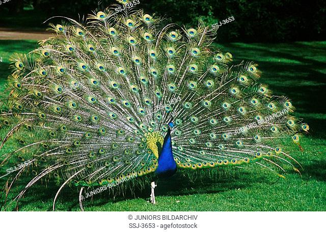 Pavo cristatus / Common Peafowl , Indian peafowl