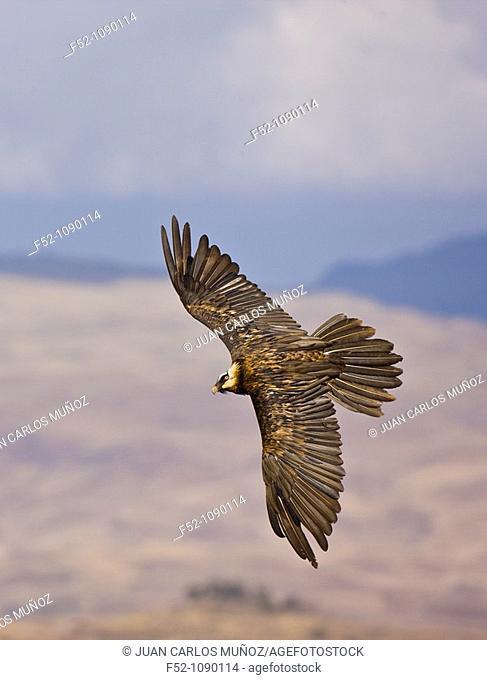 Bearded Vulture (Gypaetus barbatus), Simien Mountains, Ethiopia