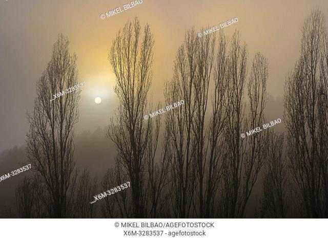 Poplar grove in the mist close to Torralba del Rio village. Navarre, Spain, Europe