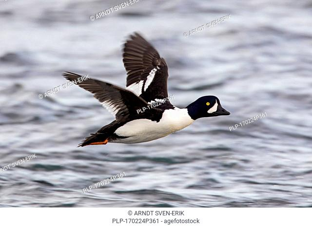 Barrow's goldeneye (Bucephala islandica) male in flight over sea water, Iceland