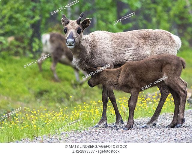 Reindeer cow, Rangifer tarandeus, with her calf, looking in to the camera, Gällivare, Swedish Lapland, Sweden