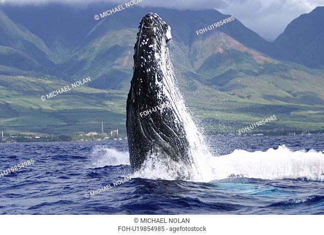 Humpback Whale Megaptera novaeangliae Auau Channel, Maui, Hawaii, North America