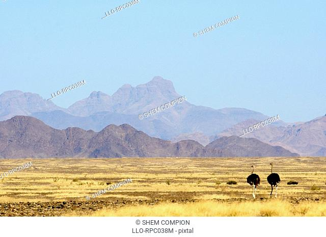 Distant view of Ostrich Struthio camelus pair with mountain range background. Sossusvlei, Namibia