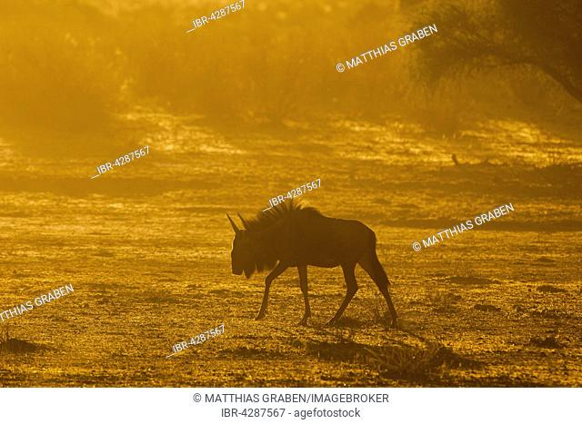 Blue wildebeest (Connochaetes taurinus), morning light, Kgalagadi Transfrontier Park, Northern Cape, South Africa