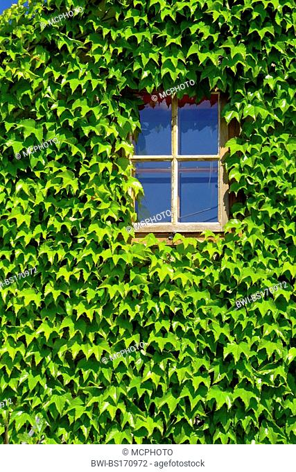 Boston ivy, Japanese creeper (Parthenocissus tricuspidata), window surrounded from Japanese creeper