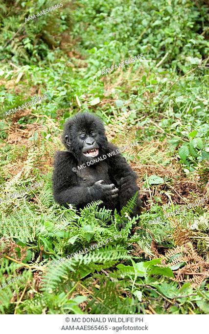 Mountain Gorilla (Gorilla beringei beringei) baby in the vegetation of Volcanoes National Park, Rwanda, Africa