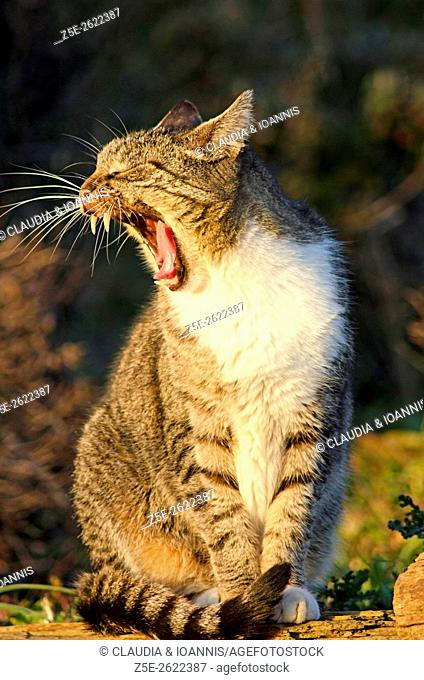 Portrait of a yawning cat