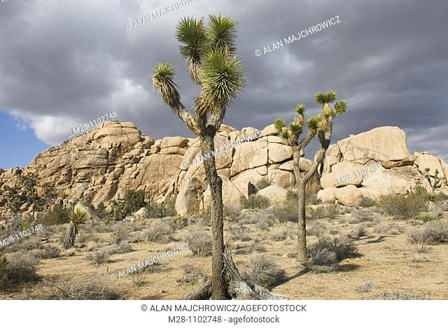 Jumbo Rocks and Joshua Tree Yucca brevifolia, Joshua Tree National Park California