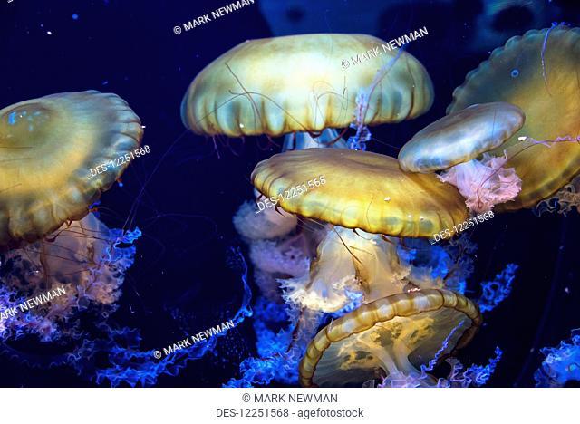 Japanese Sea Nettle (chrysaora melanaster); Albuquerque Aquarium; Albuquerque, New Mexico, United States of America